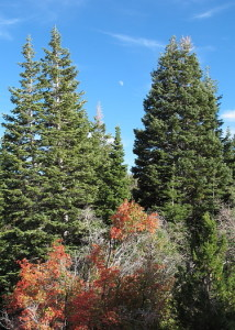 Moon, conifers, and fall oak-brush.
