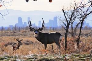 City-Deer