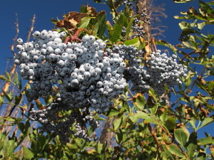 Elderberries grow in great abundance in my area. I eat hundreds a day to stay hydrated. Also a good source of fiber.