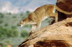 cougar1