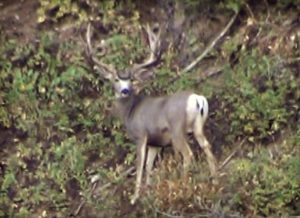 A sentinel buck that ran with my buck.